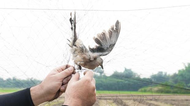 Concluye el plazo para acatar la prohibición de la UE de capturar aves cantoras