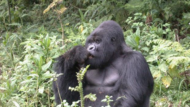 Imagen de un gorila comiendo en África