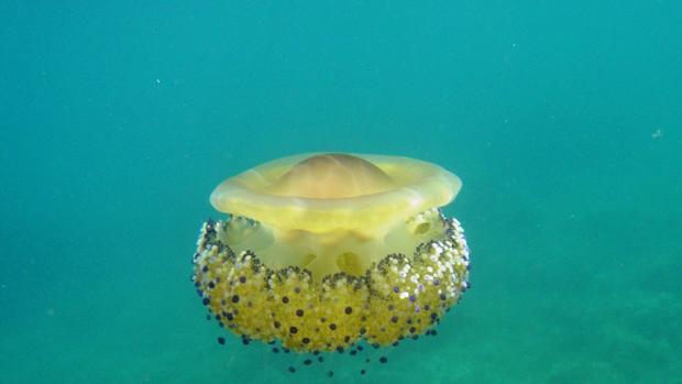 Imagen de la medusa «huevo frito» o Cotlorhiza tuberculata