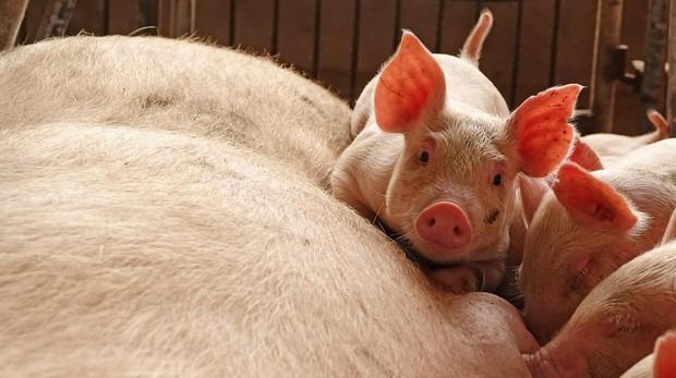 España libera anualmente 465.000 toneladas de amoniaco por los excrementos porcinos