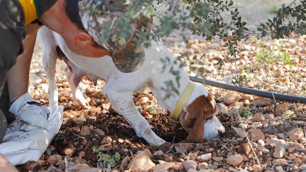 Marius y Pita, un dúo infalible. Lo primero que necesita el buen trufero es cuidar bien la tierra. Lo segundo, un perro como Pita. Marius le ha enseñado a oler la trufa madura. El can rasca la tierra y el dueño acude en busca del manjar
