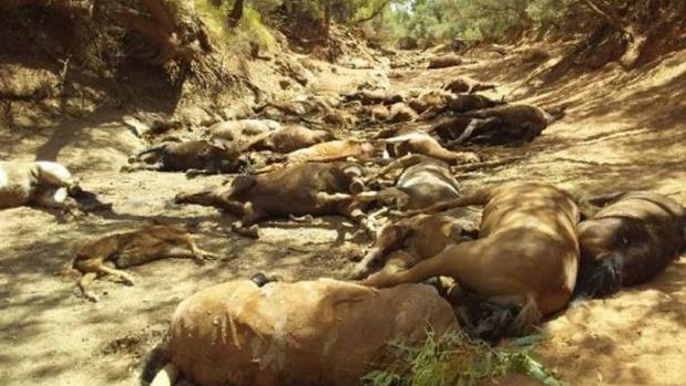 Cuarenta caballos salvajes muertos por la ola de calor que azota a Australia