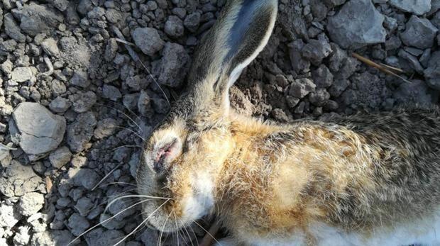 La «enfermedad de los conejos» muta letalmente contra la liebre ibérica