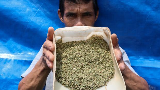 Un productor indonesio de Kratom muestra la hoja recolectada de Mitragyna speciosa, un árbol de la familia del café