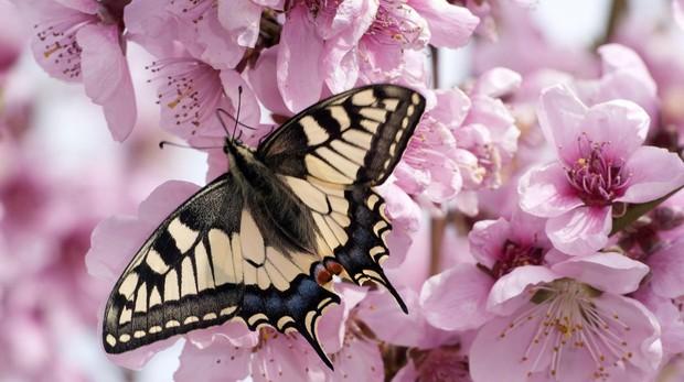 Un tipo de macaón (Papilio machaon)