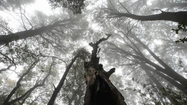 Vista de un bosque de Coigües, uno de los árboles endémicos de la región del Maule (Chile)