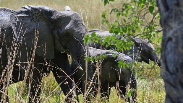 Botsuana levanta el veto a la caza de elefantes para «ganar votos de las zonas rurales»