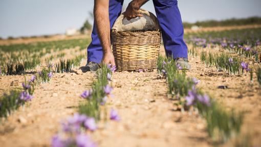 Para conseguir un kilo de azafrán se necesitan hasta 250.000 flores