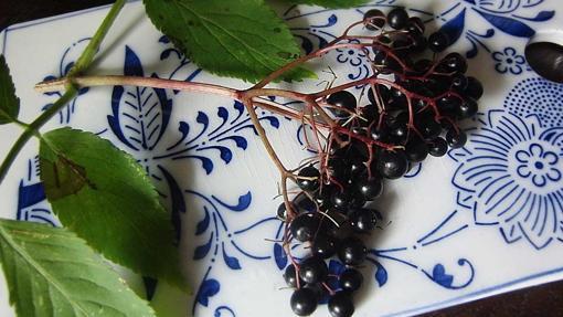 Las bayas de saúco son muy ricas en antocianinas