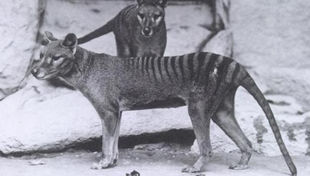 El Thylacinus o lobo marsupial, una de las especies extintas que salen en el vídeo