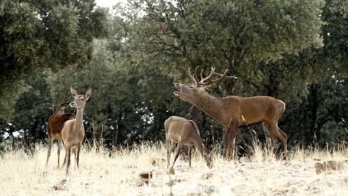 La berrea, el inicio de la época de apareamiento de los ciervos, determina uno de los momentos más espectaculares para descubrir la riqueza natural de Castilla-La Mancha