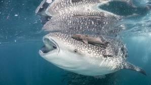 Cómo es un día nadando junto al pez más grande de la Tierra