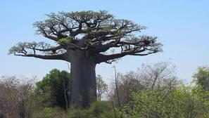 Diez lugares con los árboles más impresionantes del mundo