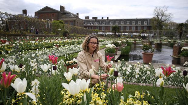 La jardinera Jude Evans examina los tulipanes del nuevo White Garden, en Kensington Palace