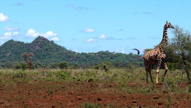 Jirafa en el Parque Nacional Meru (Kenia)