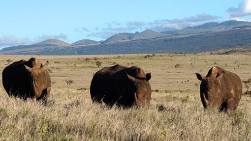 Rinocerontes en las llanuras de Lewa