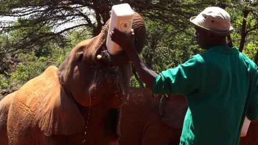 Un cuidador da el biberón a un elefantito