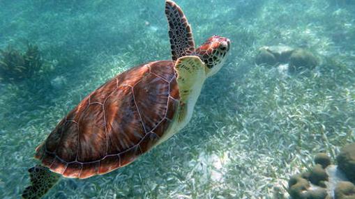 Tortuga nadando en el Sistema de Reserva de Barreras de Coral de Belice