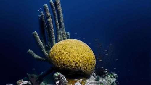 Coral en el Gran Agujero Azul en Belice