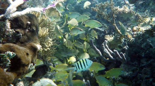 Peces nadando en el Sistema de Reserva de Barreras de Coral de Belice