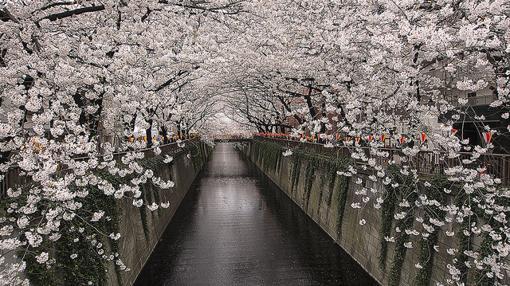 Río Meguro durante el Festival de «Cherry Blossoms» (Tokio)