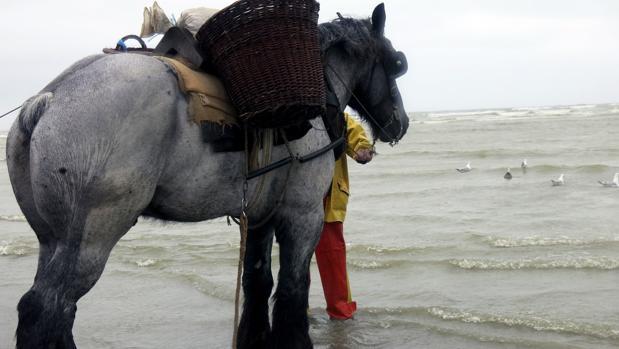 En la imagen, Bruno, el caballo de Dominique (pescador), de raza brabante, a punto de entrar en el agua para realizar la tradicional pesca de camarón del Mar del Norte