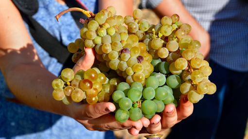 Variedad de uva verdejo