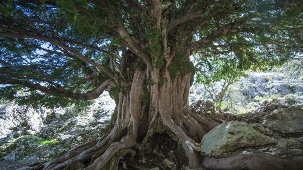 Tejo de dos mil años en la Sierra de Cazorla, Jaén
