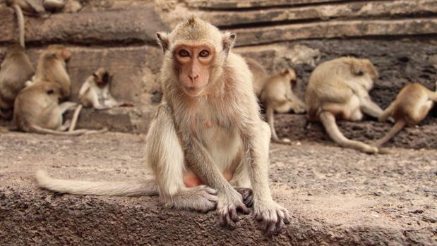 Un macaco observa junto a uno de los muros del templo Prang Sam Yot en Lopburi