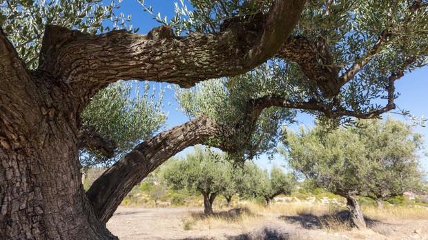 Los pueblos con la mayor concentraci n de olivos milenarios del mundo - El tiempo en la senia tarragona ...